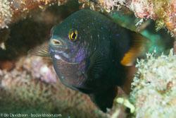 BD-130713-Maldives-0509-Plectroglyphidodon-lacrymatus-(Quoy---Gaimard.-1825)-[Whitespotted-devil].jpg